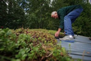 NW Stream Center volunteer Larry Gearheard installs pieces of a green roof on the gatehouse at the center in McCollum Park in Everett. Photo by Mark Mulligan of the Everett Herald.